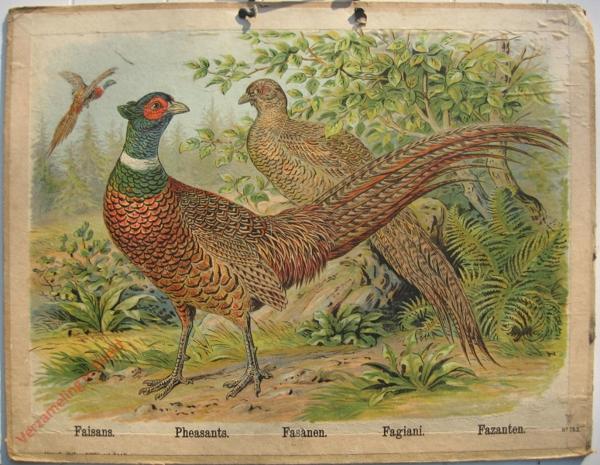 763 - Faisans, Pheasants, Fasanen, Fagiani, Fazanten